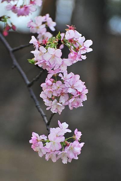 水仙花麗池櫻花1040210 261