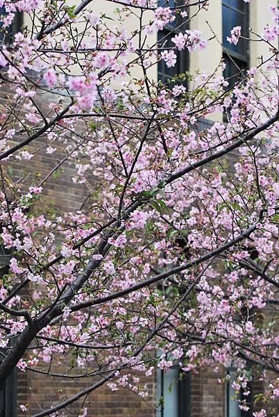 新竹麗池公園的櫻花盛開了