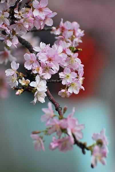 水仙花麗池櫻花1040210 250