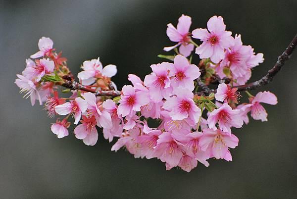 水仙花麗池櫻花1040210 209