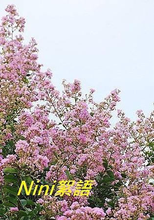 紫微.1.jpg