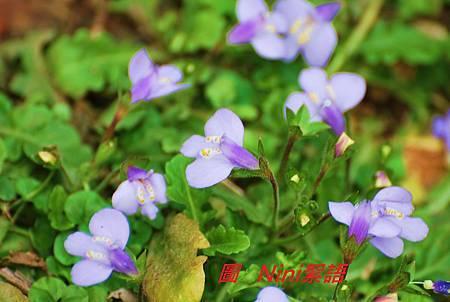 陽明山櫻花 019.1.jpg