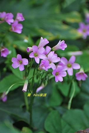 黃鵪菜醡漿草1060304 004 .1.jpg