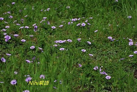 木 朱 黃槿 牽牛花 137.1.jpg