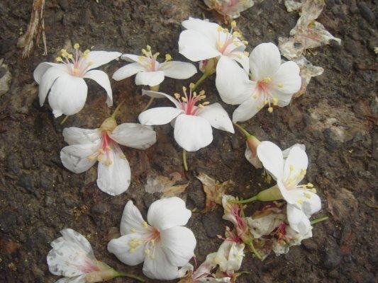 和櫻花有點像耶