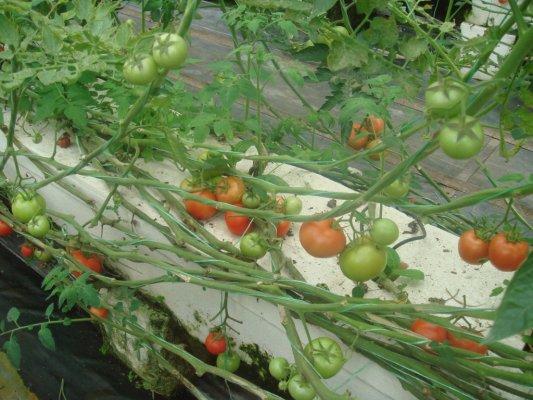 第一次到番茄園