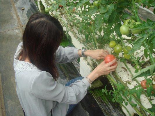 快來摘番茄