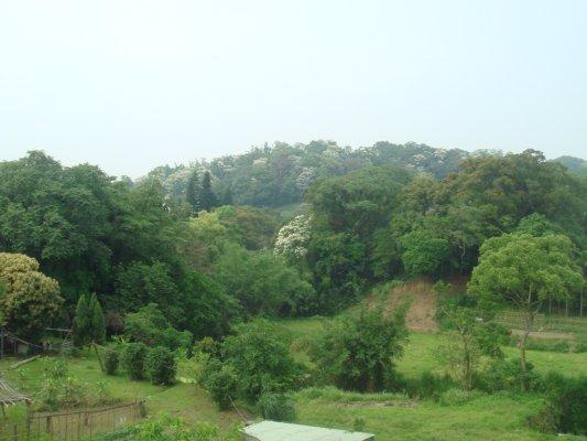 南庄油桐花滿佈山谷