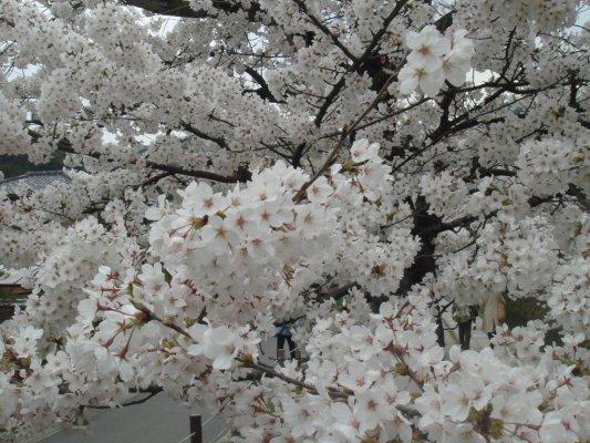 為何日本的櫻花可以長的這麼密