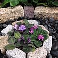 非洲紫羅蘭35