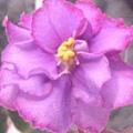 非洲紫羅蘭40