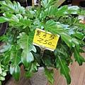奧利多蔓綠絨250(六吋)