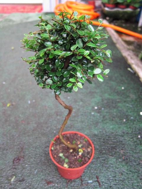 榆樹100