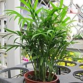 袖珍椰子30