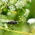 赤星瓢蟲.幼蟲/芹菜開花