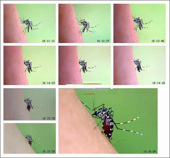 蚊子吸血的過程.jpg
