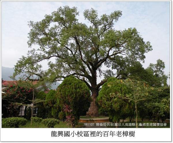 龍興國小校區內的百年老樟樹