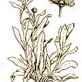 印度聖花 金盞花.png