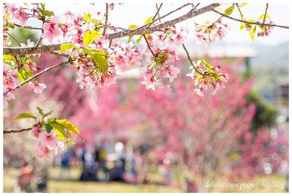 20120202 小半天石馬公園賞櫻