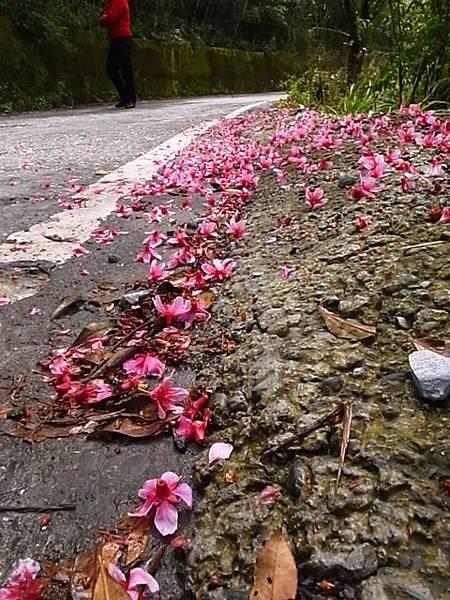 連掉在地上的櫻花都很美