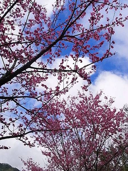別懷疑,太麻里也有櫻花