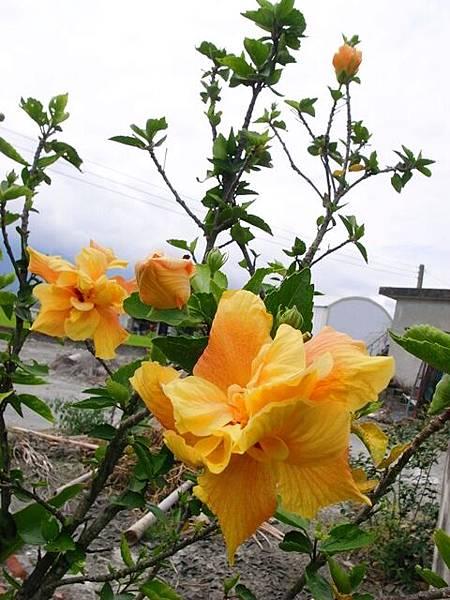 黃花一大朵
