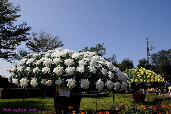 chrysanthemum_show003.JPG