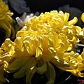 chrysanthemum_show007.JPG