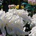 chrysanthemum_show010.JPG
