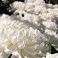 chrysanthemum_show011.JPG