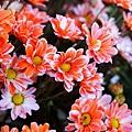 chrysanthemum_show018.JPG