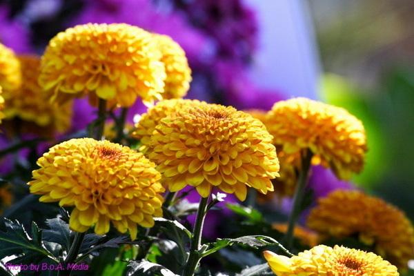 chrysanthemum_show020.JPG