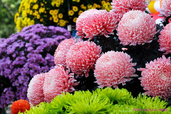 chrysanthemum_show023.JPG