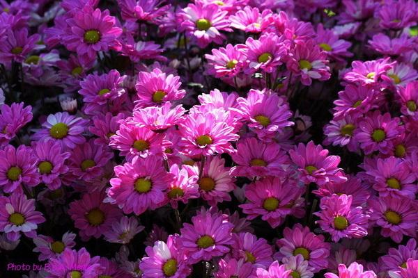 chrysanthemum_show034.JPG