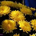 chrysanthemum_show036.JPG