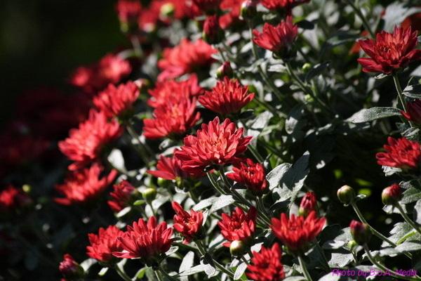 chrysanthemum_show037.JPG