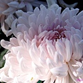 chrysanthemum_show049.JPG