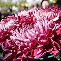 chrysanthemum_show052.JPG