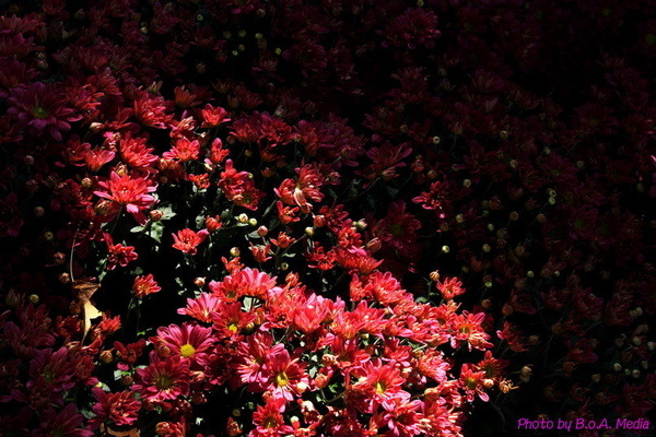 chrysanthemum_show054.JPG