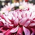 chrysanthemum_show059.JPG