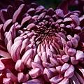 chrysanthemum_show063.JPG