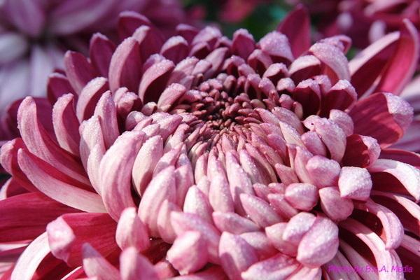 chrysanthemum_show064.JPG
