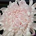 chrysanthemum_show083.JPG