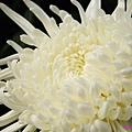 chrysanthemum_show086.JPG