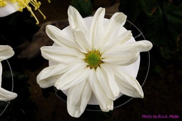chrysanthemum_show092.JPG