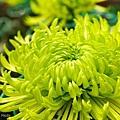 chrysanthemum_show096.JPG