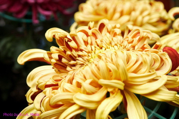 chrysanthemum_show099.JPG