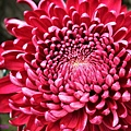 chrysanthemum_show101.JPG