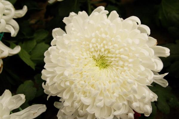 chrysanthemum_show104.JPG