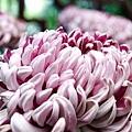 chrysanthemum_show108.JPG